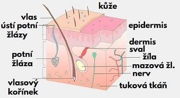 struktura pokožky hlavy pocení žlázy nervy
